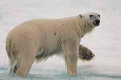Le géant de l'Arctique.