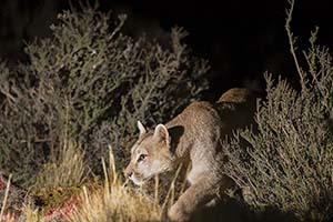Puma des Montagnes